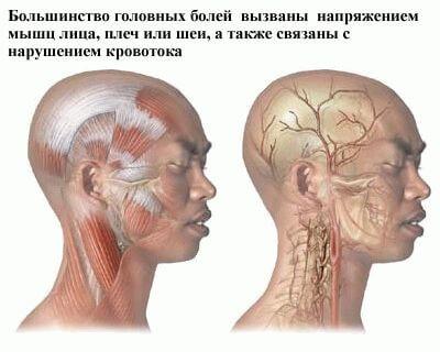 схема мышц и кровотока