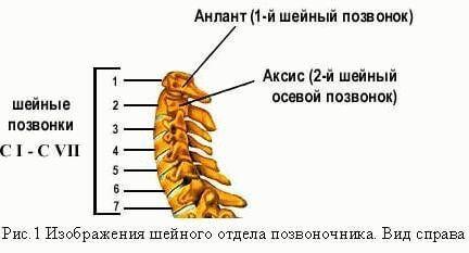 структура шейного отдела позвоночника