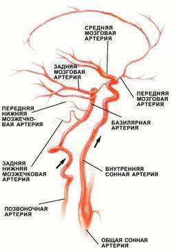 система кровотока к головному мозгу